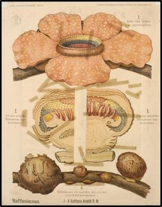Rafflesia Arnoldi, corpse flower