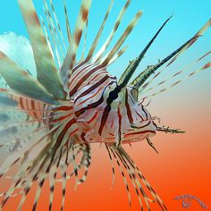 Lavish Lionfish by *FauxHead  I had one in high school in my saltwater tank. it was beautiful