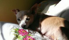 Chihuahua in the sun :D