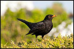 - - - Blackbirds, Backyard Birds, Animal House, Nests, Beautiful Birds, Wood Carving, Feathers, Butterflies, Houses