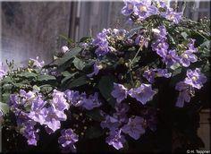Thumbergia grandiflora