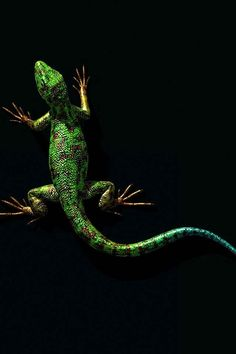 Wall Gecko== Simply Beautiful iPhone Wallpapers == #green and black