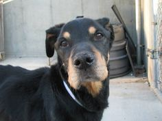 TO BE DESTROYED - 4/7/14  Brooklyn Center   COCO - A0995573   FEMALE, BLACK / BROWN, LABRADOR RETR / ROTTWEILER, 8 yrs STRAY - STRAY WAIT, NO HOLD Reason STRAY Intake condition ILLNESS Intake Date 04/03/2014, From NY 11204, DueOut Date 04/06/2014,  https://www.facebook.com/photo.php?fbid=782826205063594&set=a.617942388218644.1073741870.152876678058553&type=3&theater