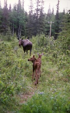 moose...reminds me of our Alaska trip...