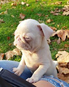 Cute Baby Pugs, English Bulldog Puppies, Cute Dogs And Puppies, Baby Puppies, English Bulldogs, French Bulldogs, Doggies, Cute Little Animals, Cute Funny Animals