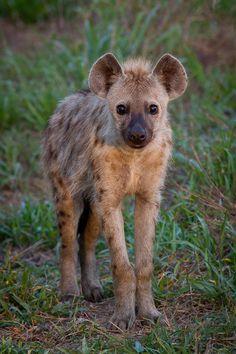 Innocent  #hyena