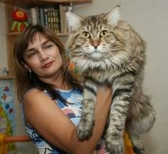 The largest domestic cat, the Maine Coon is just over 4 feet long and possess a huge, long body, with a beautiful long-haired coat, this breed of cat also has monstrous claws. Description from pinterest.com. I searched for this on bing.com/images