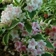 Weigela 'Kosteriana Variegata' (Dutch variegated weigela) Click image to learn more, add to your lists and get care advice reminders  each month.