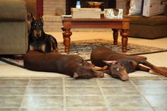 L-R: Capone (black and tan), Stella Rue, and Paisan. #dogs #doberman #pets   we want one!