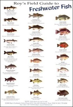 Roy's Field Guides & Posters Birds, fish and sea shells to be found in the Gulf Coast area