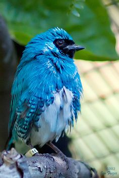 Northern Swallow Tanager | Flickr - Photo Sharing!