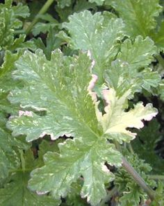 Peacock Scented Geranium/  Pelargonium cv.:  On the hill - smells amazing.