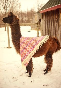 Halley the llama loves the cheery yet graphic sofa throw.