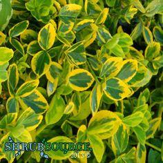 Shrub Source - Euonymus - Gold Splash Winter Creeper