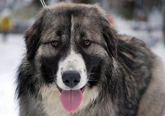 romanian raven shepherd dog - Google Search