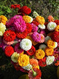 Zinnias on the JP Parker Flowers Farm. #FlowerPower http://www.jpparkerco.com/gallery/the-farm/