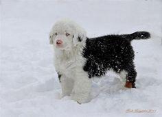 Bernský salašnický pes s velkou bílou faktoru