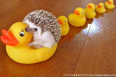 Adorable Hedgehog Continues His Reign of Cuteness on Twitter - My Modern Met