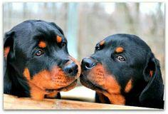 #Rottweiler kisses