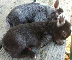 Minature baby donkey's...these are goats not donkeys lol at the original caption.