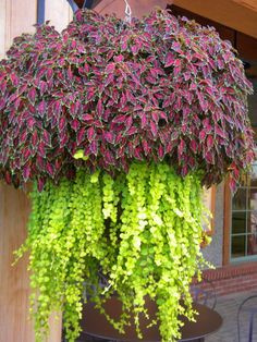 Easy To Grow Houseplants Clean the Air Coleus And Creeping Jenny. I Love That There Is A Plant Called Creeping Jenny. Container Flowers, Container Plants, Container Gardening, Hanging Flower Baskets, Hanging Plants, Outdoor Plants, Outdoor Gardens, Lawn And Garden, Garden Pots