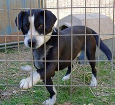 Baxter Border Collie Mix • Baby • Male • Medium Humane Society of Monroe County Woodsfield, OH