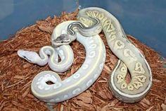 Pastel potion and mystic pewter ssscales Pretty Snakes, Ball Python Morphs, Anaconda, Reptiles And Amphibians, Pewter, Bing Images, Mystic, Weird, Nature