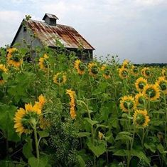Old barn and sunflowers.
