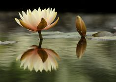 """""""Soft Island Above Water"""" Creamy Lotus Blossoms and Reflection at the VanDusen Botanical Garden in Vancouver BC"""