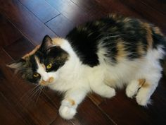 Harlequin aka Harlie Ragamuffin Cat, Cattery, Cats And Kittens, Kitty, Animals, Cuddle Cat, Animales, Animaux, Kitten