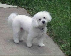Bichon Frise Dogs -  Kerrie by Marian