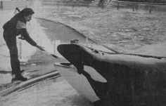 Kanduke, one of the few transient orcas held in captivity