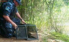 Ratão-do-banhado e tamanduá-mirim são resgatados em Botucatu