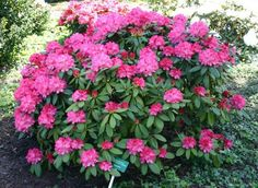 Rhododendron   Part shade ▪ (H) 4-6' (W) 4-6' ▪ Bloom: late spring ▪ Zone 5-9