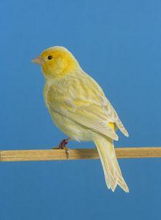 صور عصافير كناري روعة Canary Bird Pictures Canary Birds Bird Pictures Animals