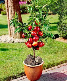 Dwarf Nectarine | Fruit & Veg from Bakker Spalding Garden Company