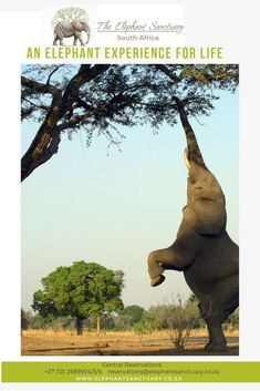 Elephants are strong enough to bulldoze entire trees and but their large size and tough hide afford little protection from a mass attack by tiny ants African Elephant, African Animals, David And Goliath Story, South Africa Holidays, Elephant Sanctuary, Travel Magazines, Online Travel, Acacia, Elephants