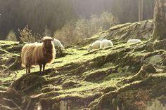 Vakkert landskap på Bondegården i byen! Bergen, Eid, Animals, Animais, Animales, Animaux, Animal, Mountains, Dieren