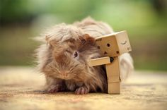 two things i love! guinea pigs and danbo! Danbo, Guinea Pig House, Guinea Pigs, Photos Of Cute Babies, Pigs Eating, Guinea Pig Bedding, Pet Pigs, This Little Piggy, Pet Rabbit