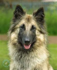 Belgian Shepard, this is what Tass was