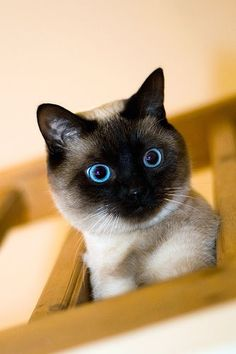 Фото животных » Фото голубоглазая кошка