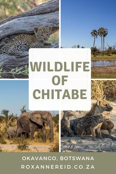 Wildlife wonders of Chitabe in the Okavango, Botswana - Roxanne Reid