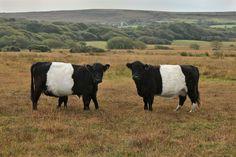 cattle | Gower Wildlife