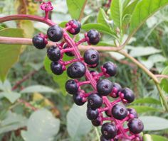 Four Toxic Plants To Avoid. Pictured: Pokeberry. We've had these in the yards of our last 2 houses. Glad I never tasted any!