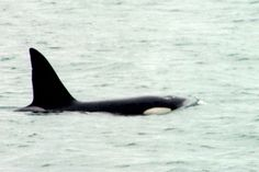 Orca playing in Wellington Harbour. There are only 200 orca (killer whales) living in coastal waters.