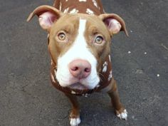 KAHKI is an adoptable Pit Bull Terrier Dog in New York, NY A volunteer writes:   Kahki always shows how happy she is to see someone with a leash......she  ... ...Read more about me on @petfinder.com