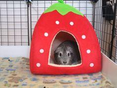 DIY Homemade guinea pig strawberry bed - more ideas inside of pin Diy Guinea Pig Toys, Guinea Pig House, Guinea Pig Care, Farm Animals, Cute Animals, Guinea Pig Breeding, Guinea Pig Accessories, Pet Accessories, Guniea Pig