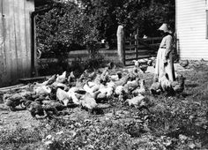 A circa 1900 photo of chickens on the Landis farm at Landis Valley Village and Farm Museum in Lancaster. #archives