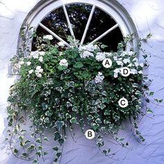 ~A. Geranium (Pelargonium 'Orbit White') -- 1  B. Ivy (Hedera helix 'Glacier') -- 4  C. Bacopa (Sutera 'Snowstorm') -- 3  D. Impatiens 'Xtreme White' -- 2~