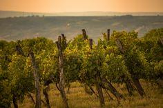 Golden secrets in the vineyard Vineyard, The Secret, Places, Outdoor, Outdoors, Lugares, Outdoor Life, Garden